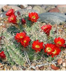 Semená kaktusov - Echinocereus triglochidiatus - 8 ks