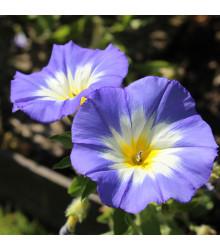 Pupenec trojfarebný Royal Ensign - predaj semien - Convolvulus tricolor - 0,7 g