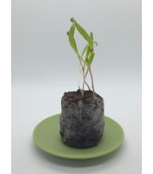 Malé sadbovacie tablety - Jiffy - rašelinové zakoreňovače - veľ. 24 mm - 1 ks