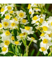 Narcis Avalanche - Narcissus - cibuľoviny - 3 ks