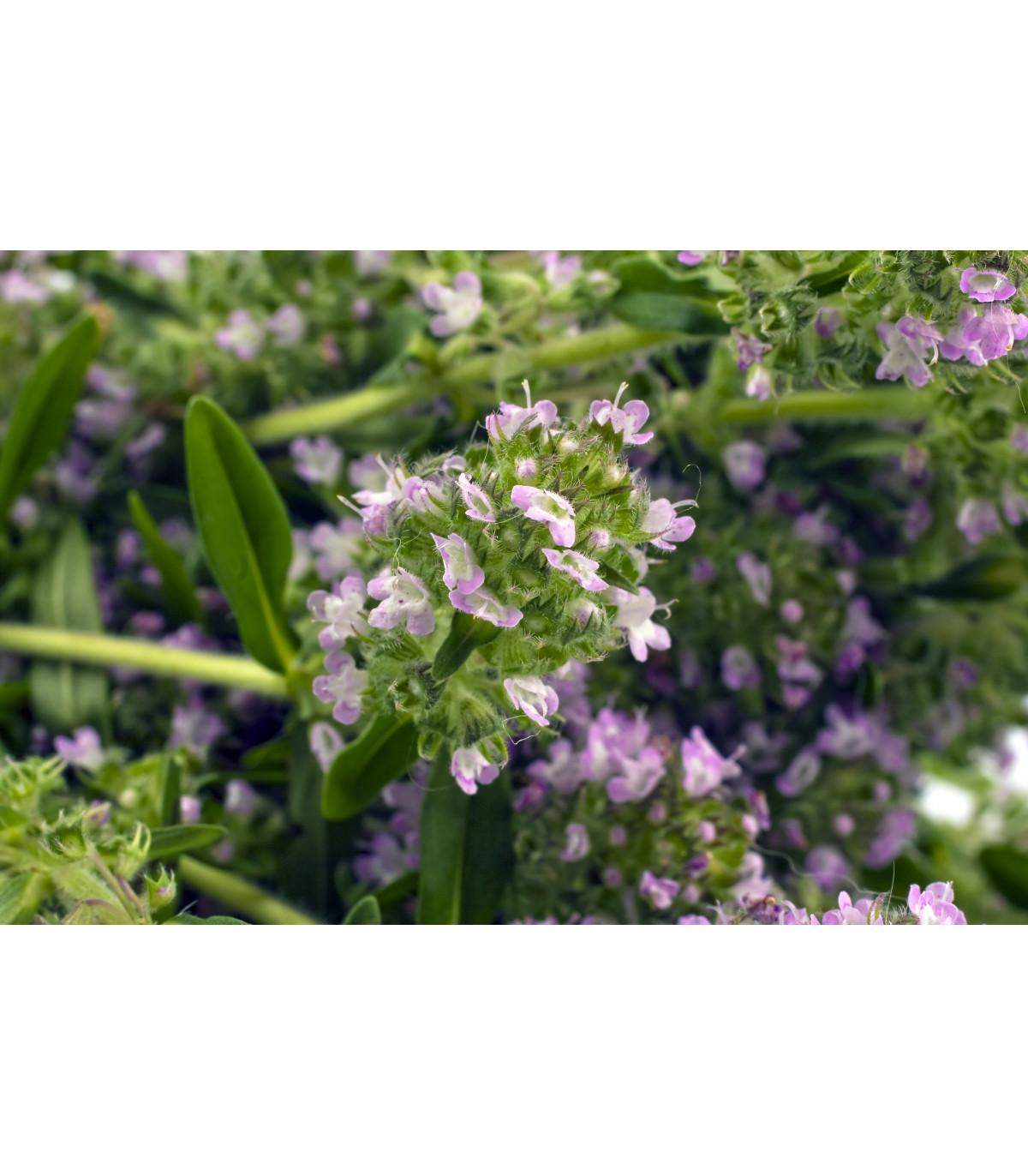 Saturejka záhradná - semiačka - 300 ks