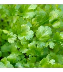 BIO Koriander siaty Caribe - Coriandrum sativum - bio semienka - 50 ks