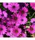 Africká sedmokráska - zmes - Osteospermum eclonis asti mix - semienka - 6 ks