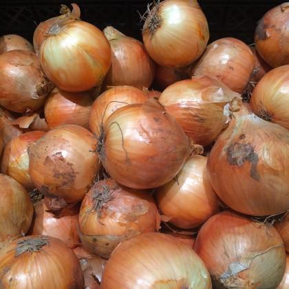 Cibuľa sadzačka Sturon - Allium cepa - cibuľky sadzačky - 100 g