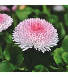 Sedmokráska obyčajná Tasso ružová s červeným stredom - Bellis perennis - semienka sedmokrásky - 50 ks